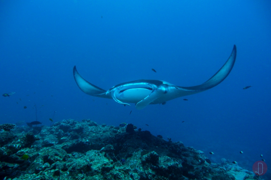 Milaidhoo Maldives underwater manta rays