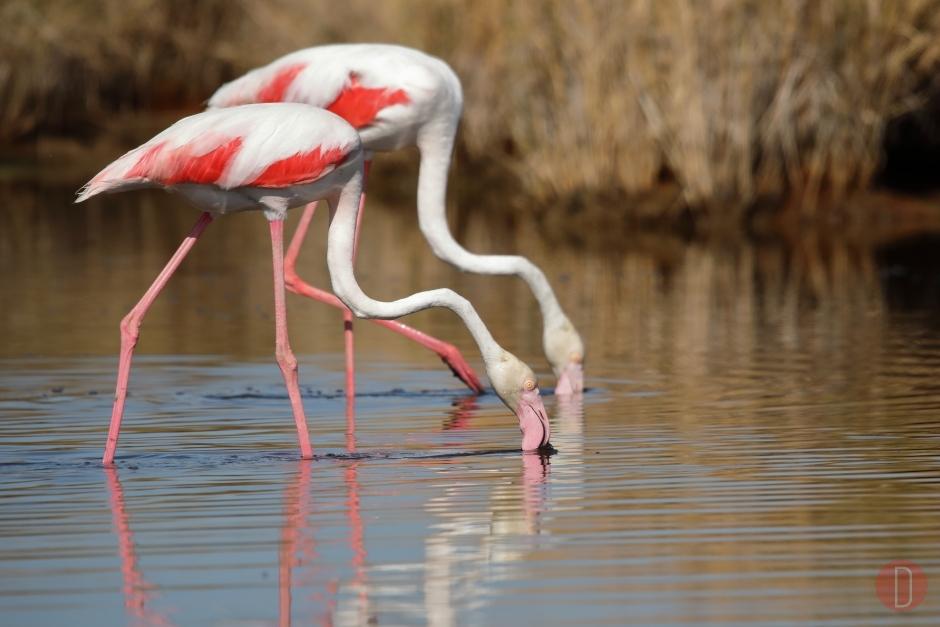Doñana Flamingos